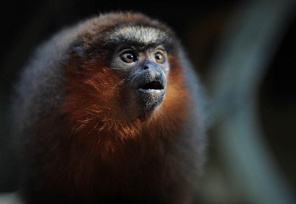 Загипнотизированная обезьянка