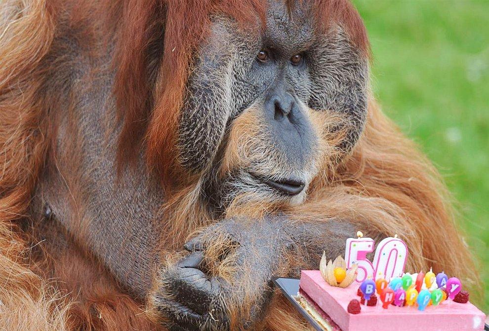 День рождения у старого орангутанга