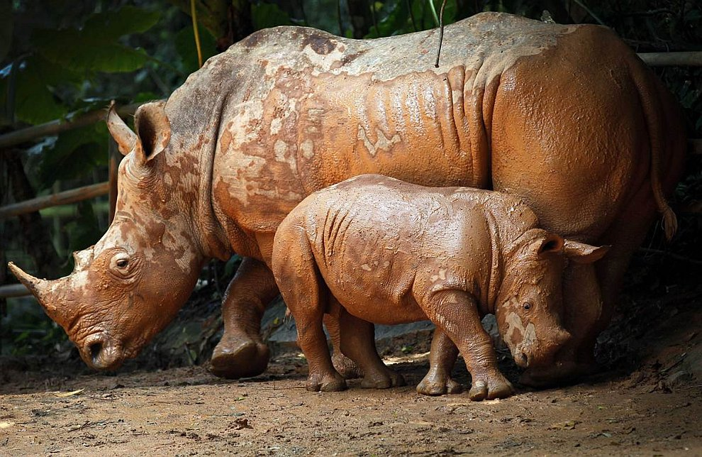 Носорог и носорожек