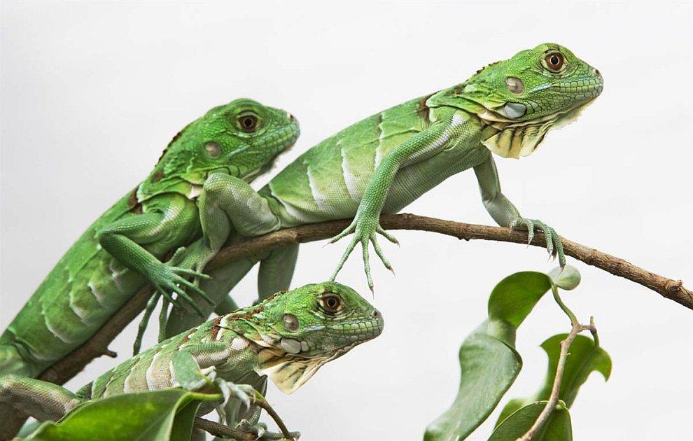 Зеленые игуаны