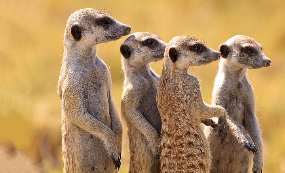 Сурикаты на просторах Ботсваны