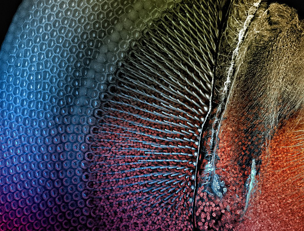 Глаз стрекозы