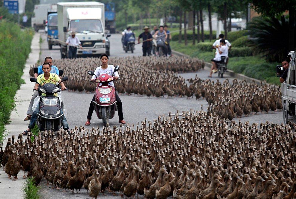 Китайские фермеры гонят стаю уток к пруду