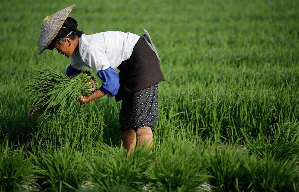 На рисовых полях в провинции Юньнань