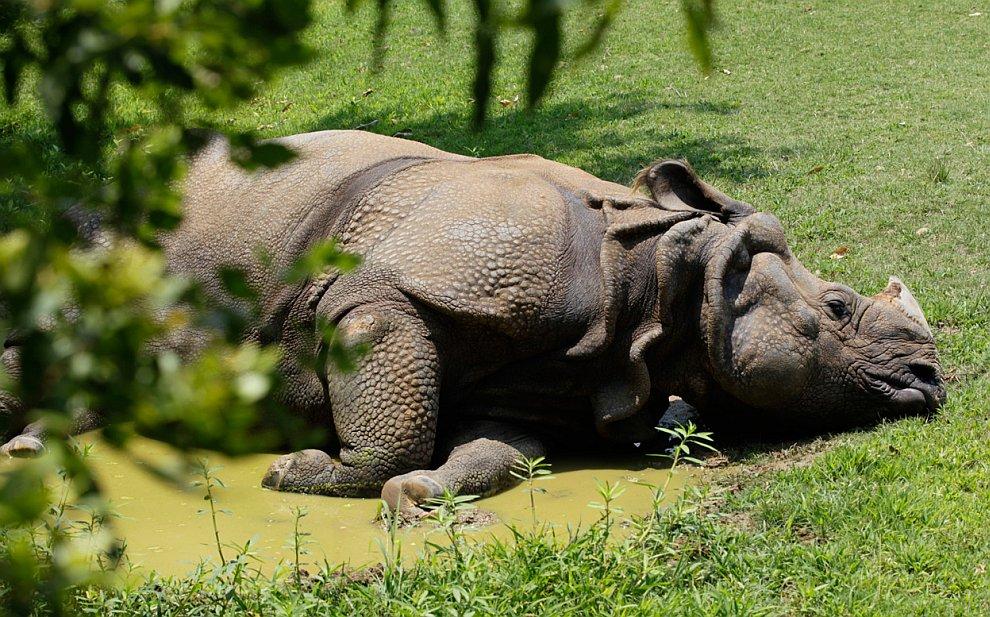 А закончим мы неожиданно — носорогом, расслабляющимся в грязи жаркого дня