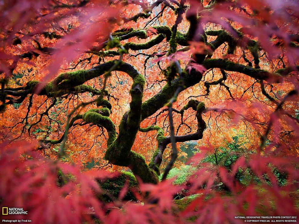 Японский клен, штат Орегон