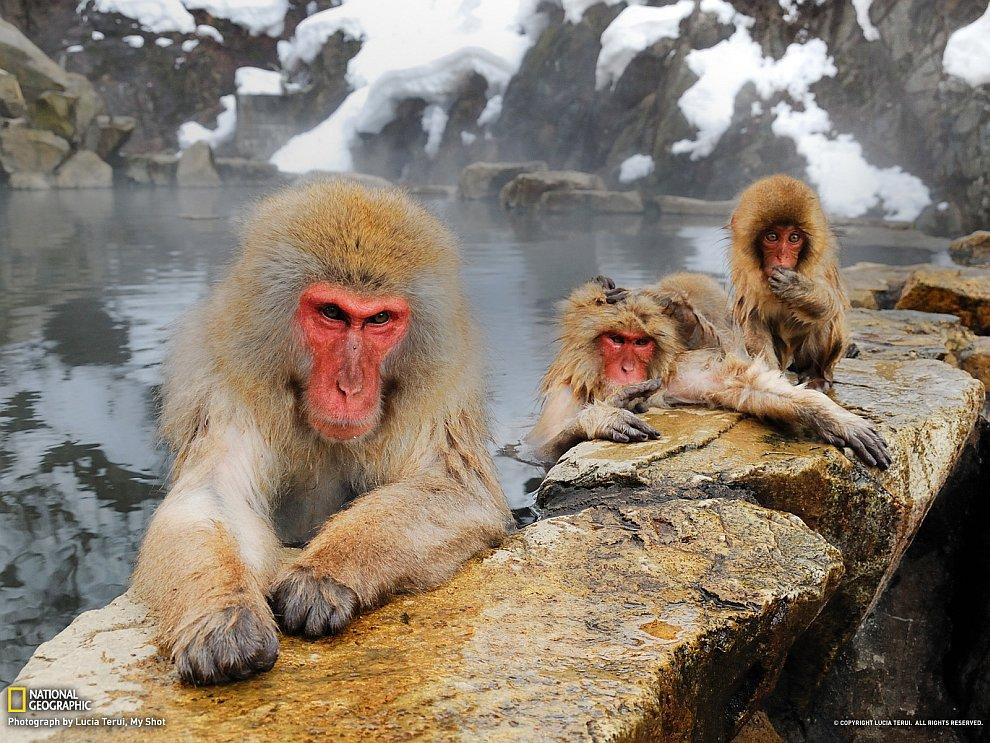 Парк обезьян, Япония