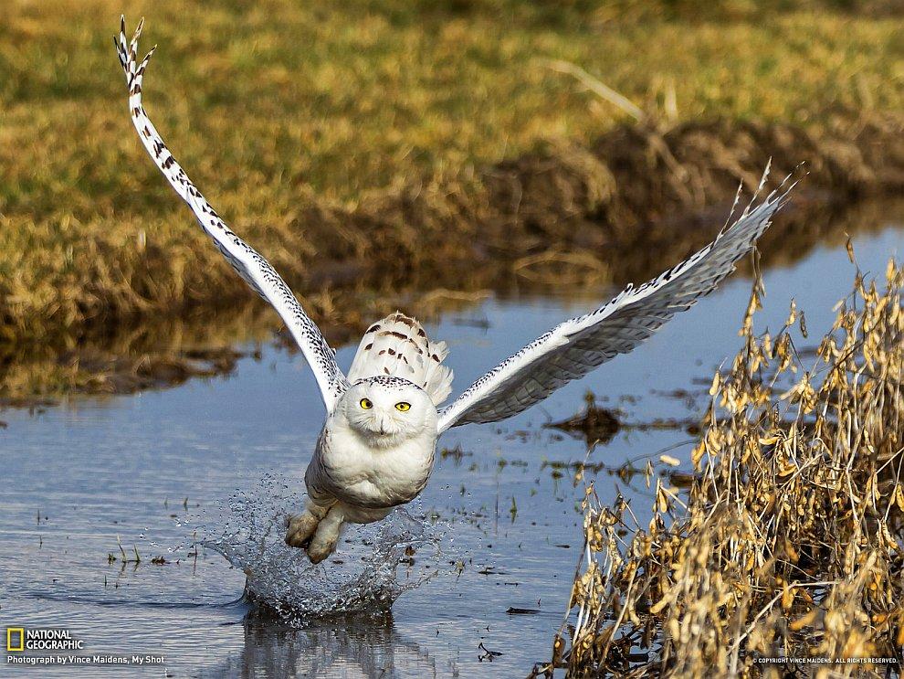 Снежная сова, Канада
