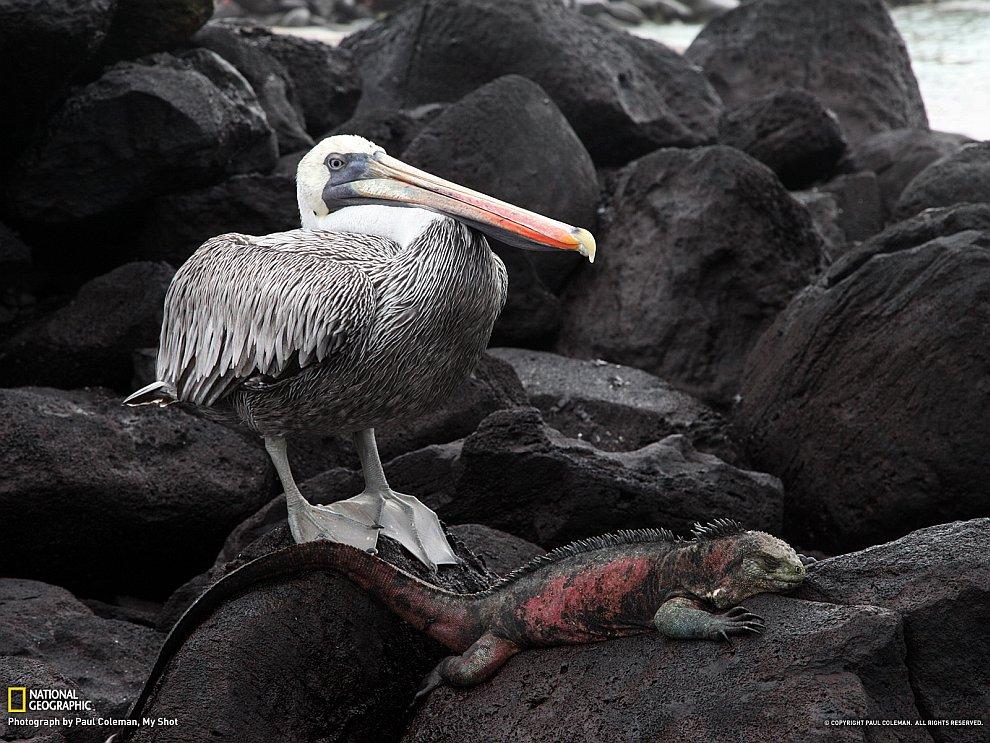Игуана и пеликан, Галапагосы