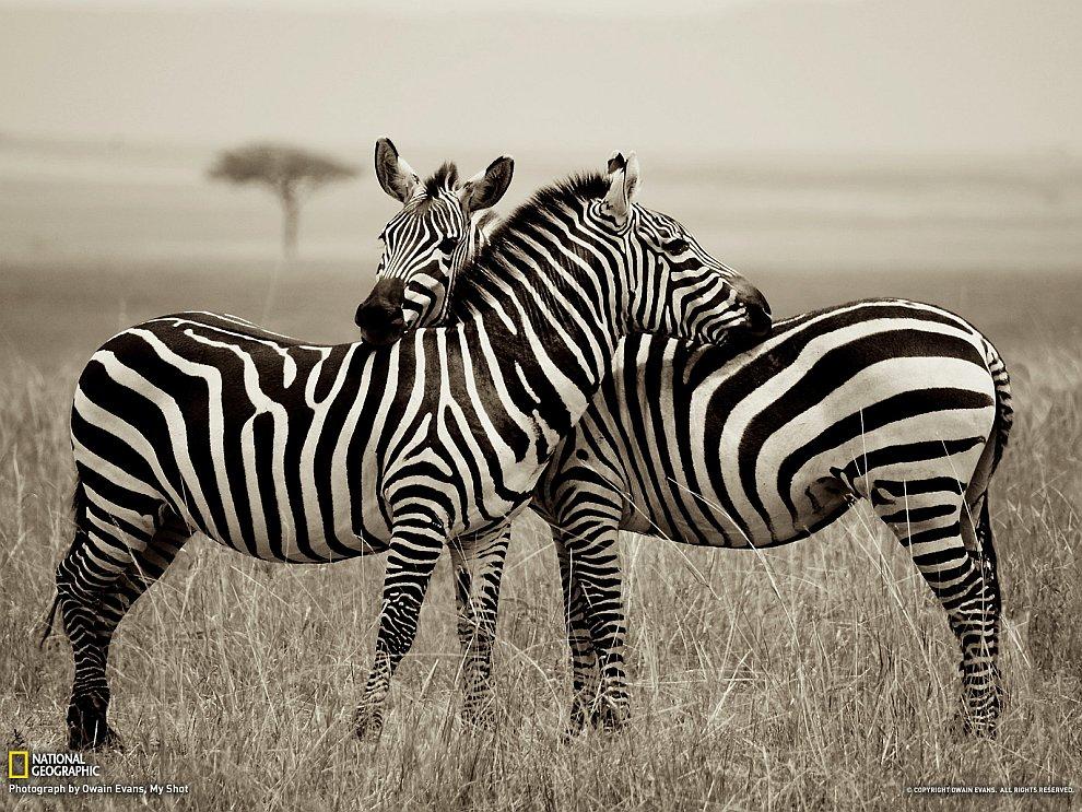 Зебры в национальном заповеднике Кении