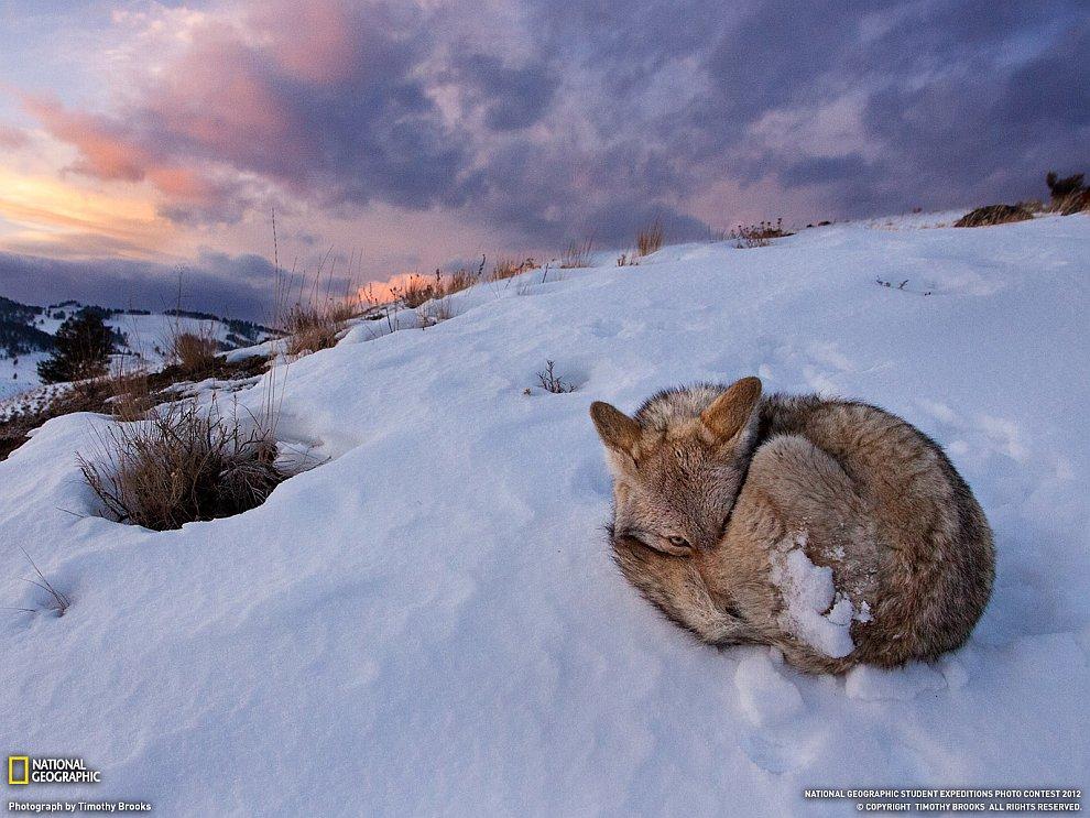 Койот из Йеллоустонского национального парка