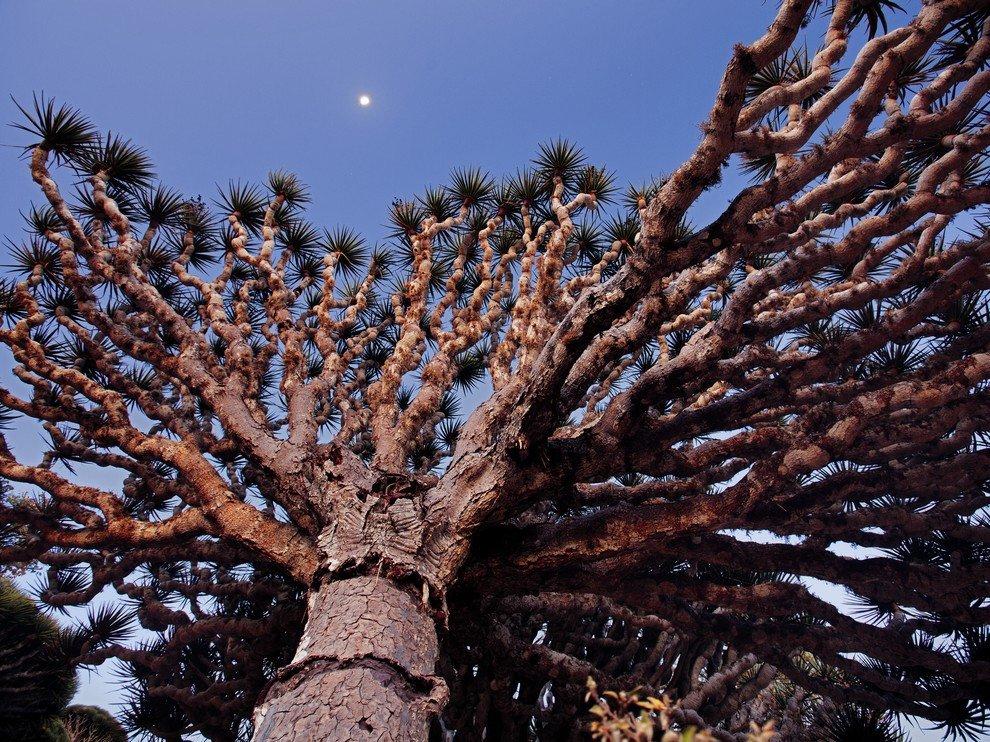 Драконово дерево, Сокотра