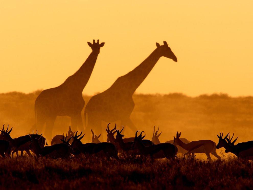 Жирафы и газели, Намибия