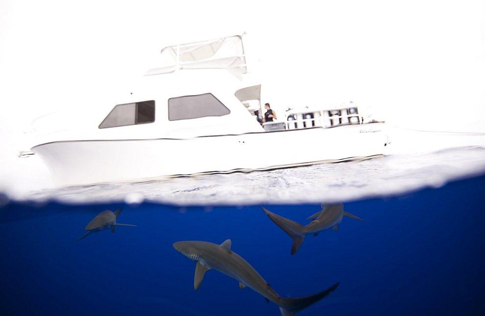Шелковистые акулы исследуют катер. Багамские острова