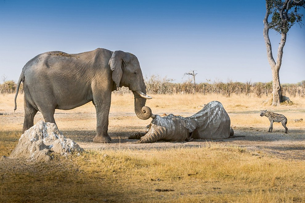 Слоны. Прощание со старым другом
