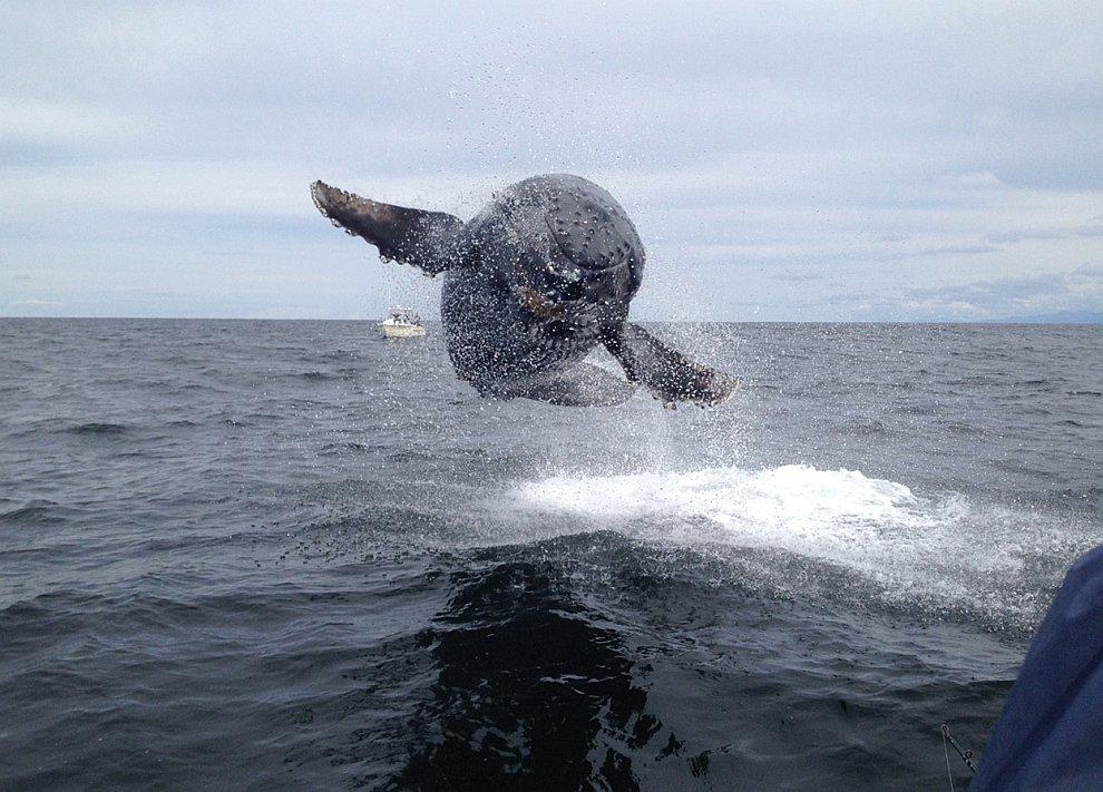 Горбатый китенок в прыжке