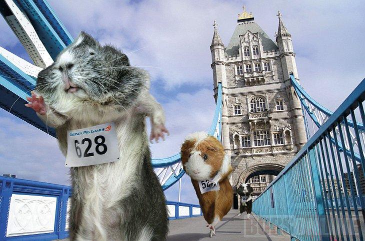 Морские свинки на Олимпиаде 2012: в погоне за золотом