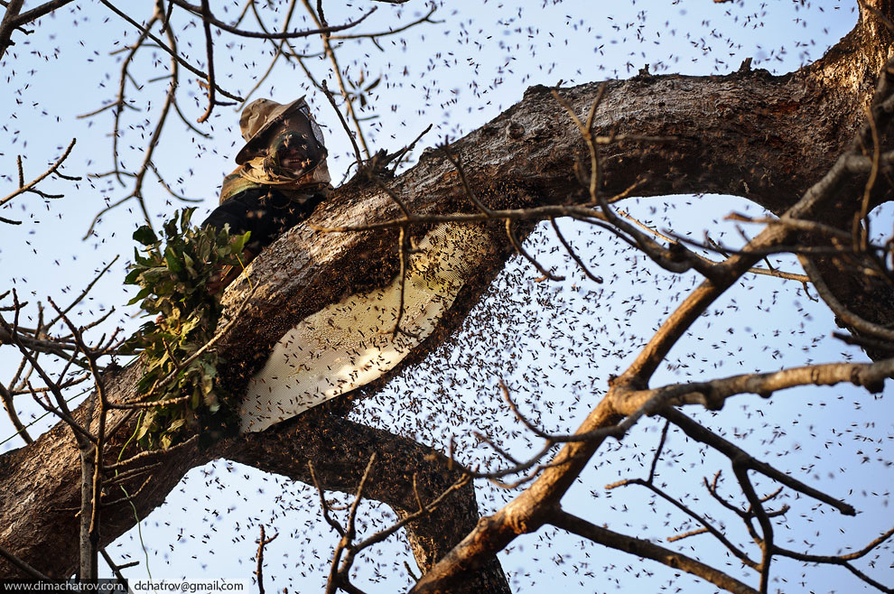 Охотник за медом диких пчел