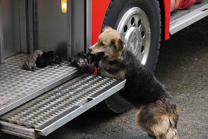 Мама спасает своих щенят из горящего дома и переносит их в пожарную машину