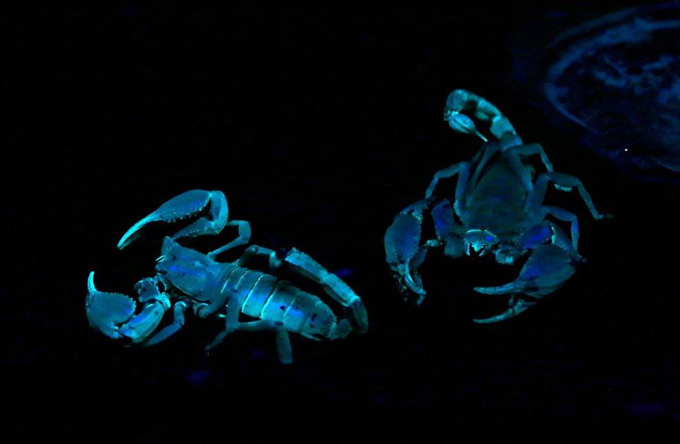 Черные азиатские скорпионы