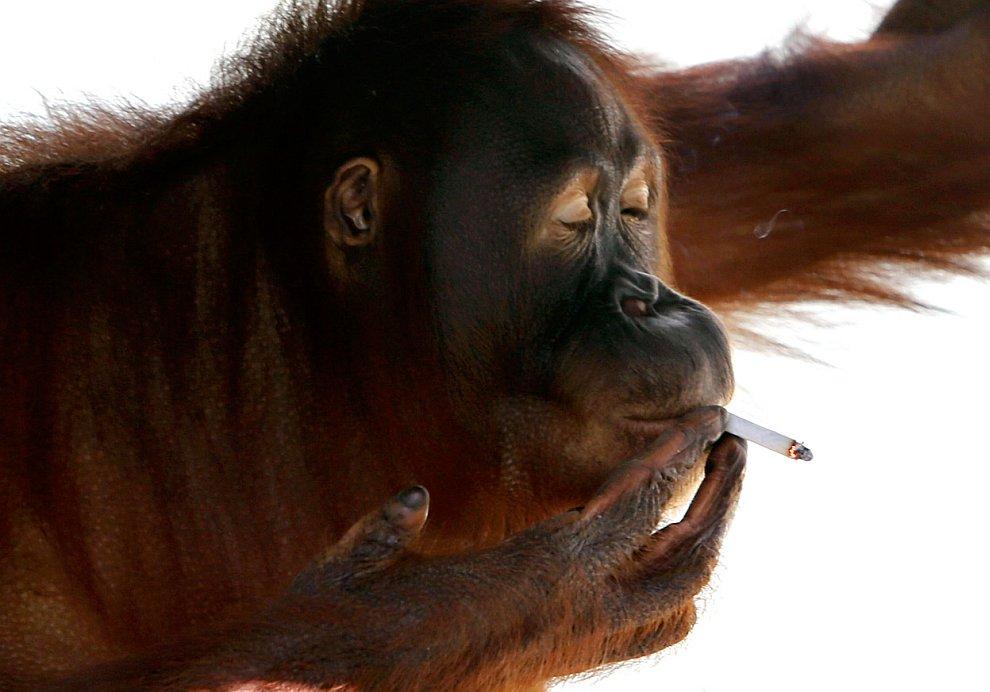 15-летний орангутанг из зоопарка на острове Ява (Индонезия) научился курить 10 лет назад