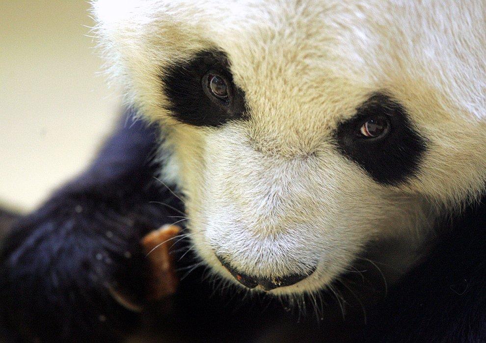 Архивная фотография панды по кличке Бао Бао