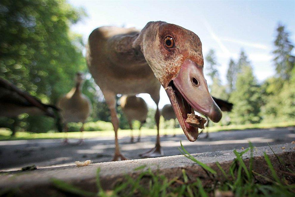 Это египетские гуси