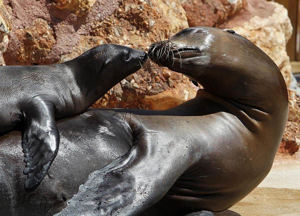 Калифорнийский морской львенок