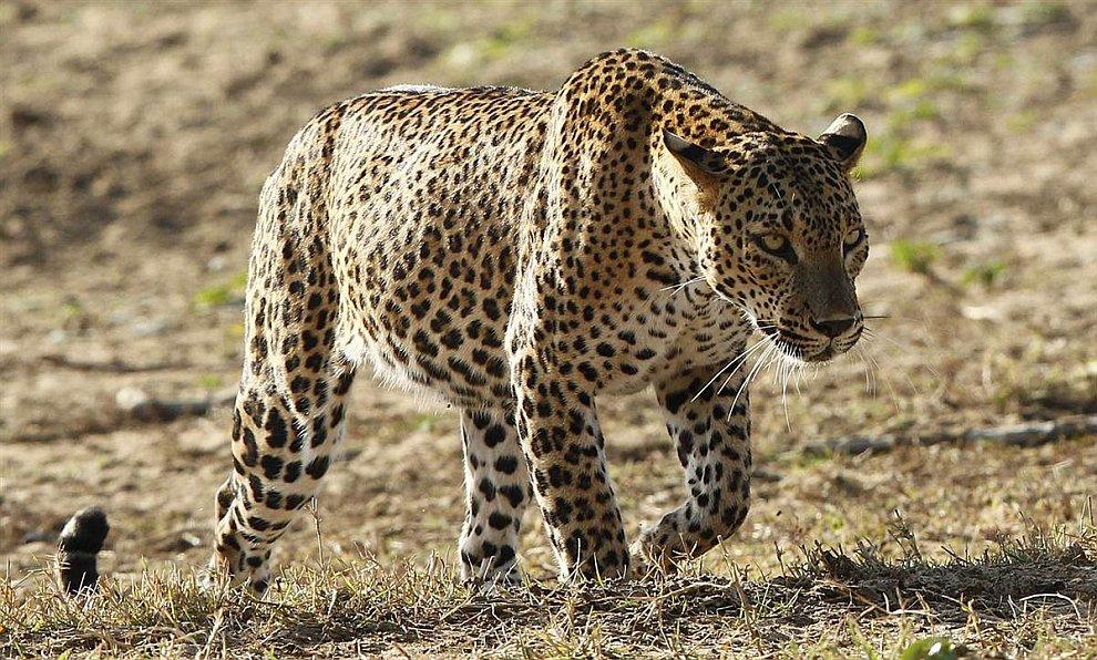 Леопард в Национальном парке Яла
