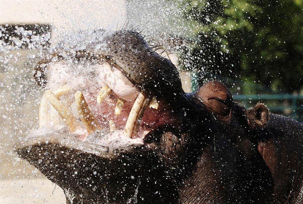 Бегемота охлаждают под струей воды