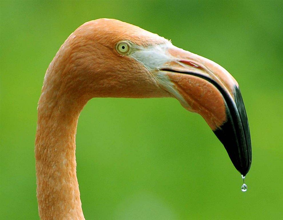 Фламинго позирует в зоопарке Дрездена