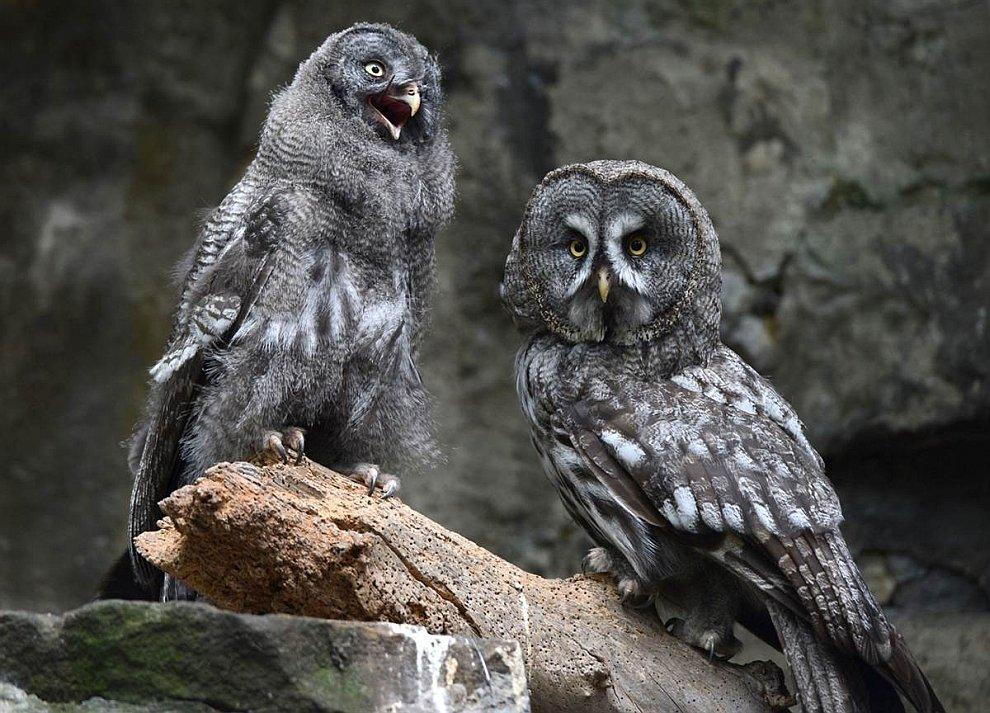 Серый филин и птенец