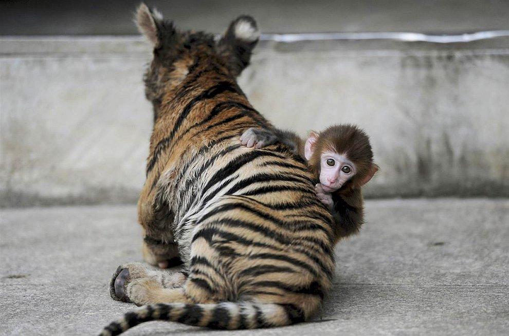 Маленький макак и тигренок