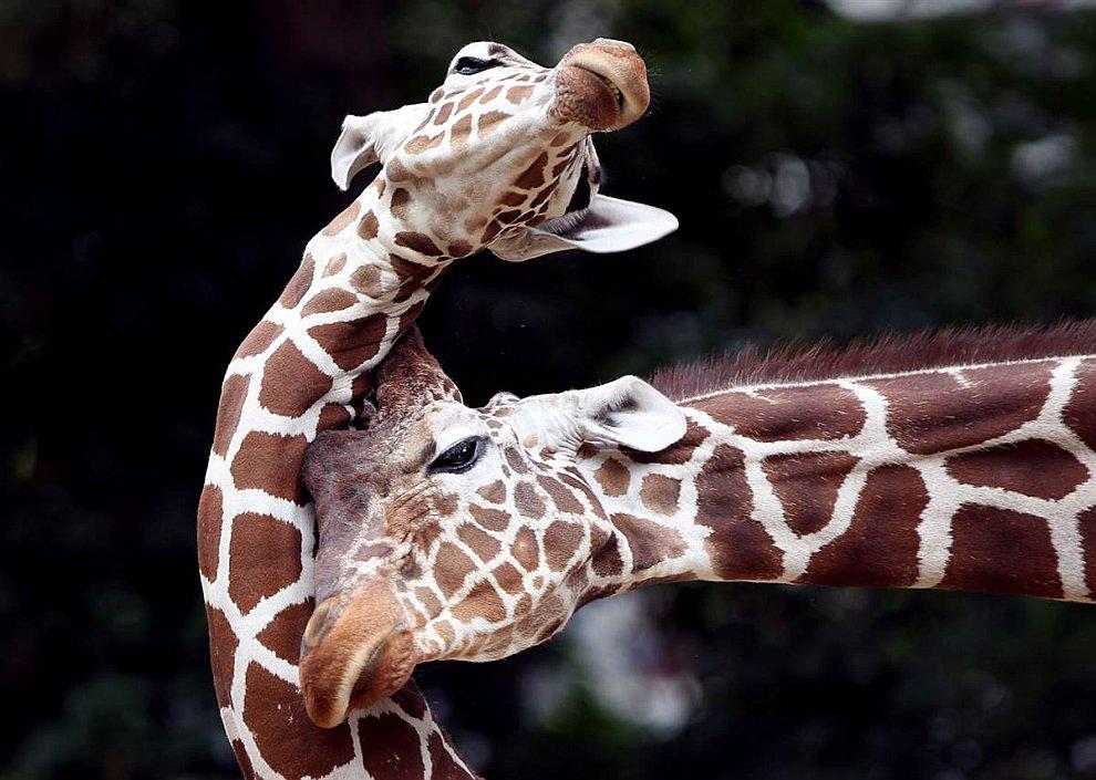 Игры жирафов