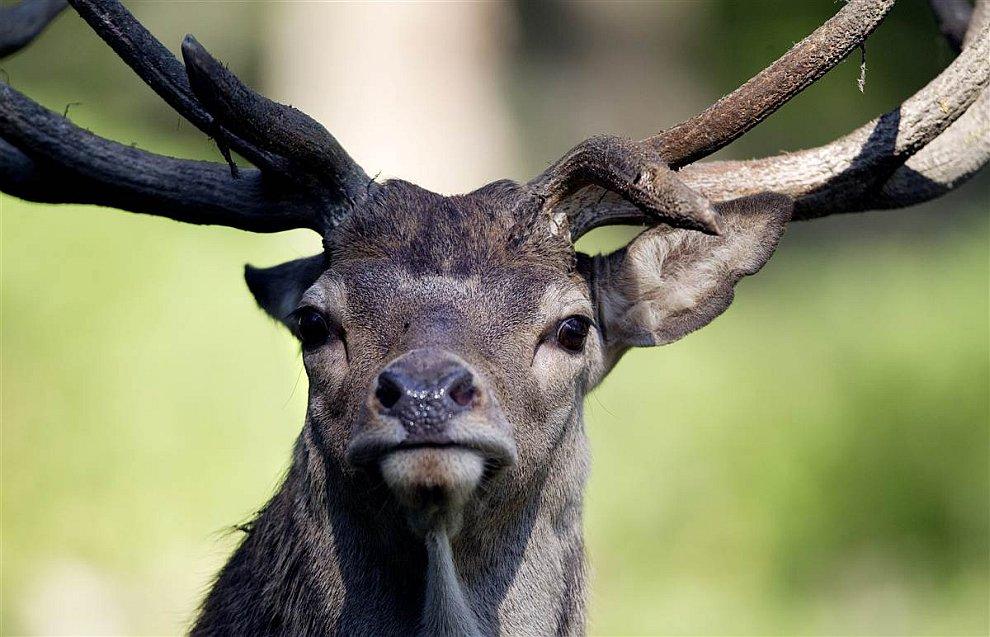Портрет благородного оленя