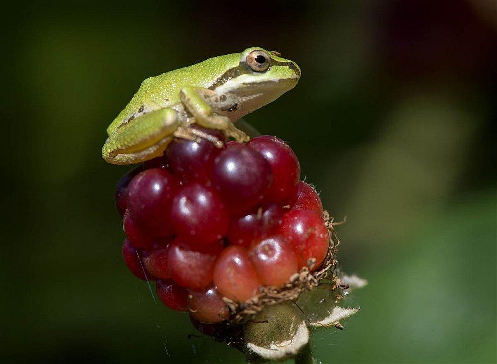 Тихоокеанская древесная лягушка