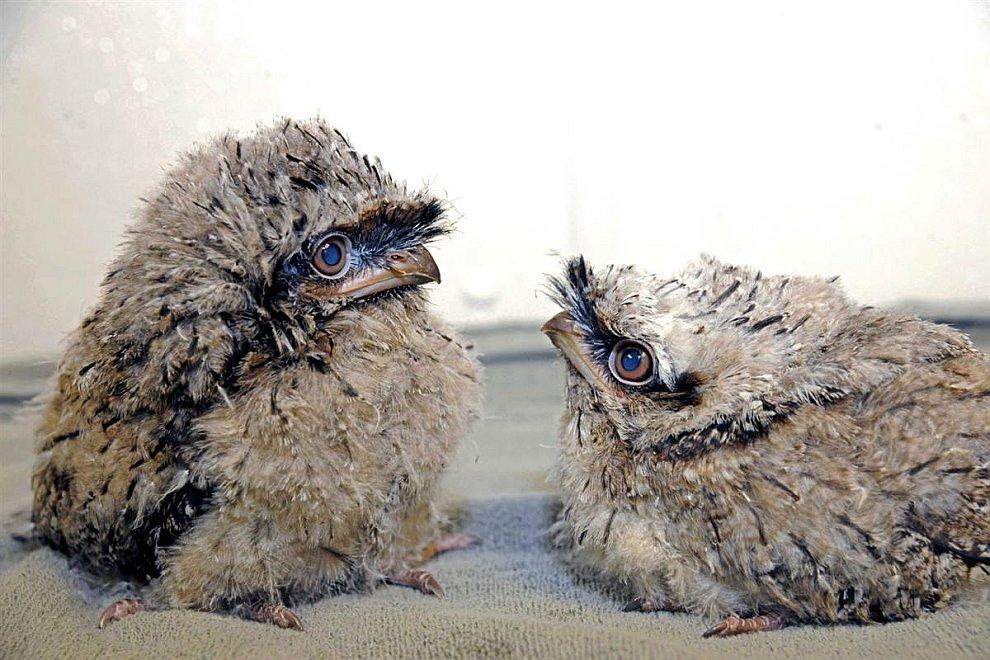 Два птенца исполинского белонога
