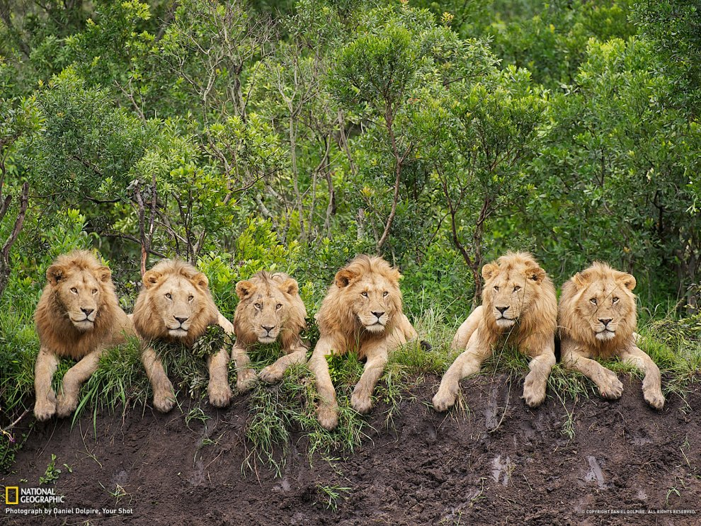 Львы на отдыхе, Танзания