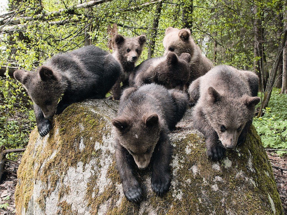 Медвежата из Бубониц