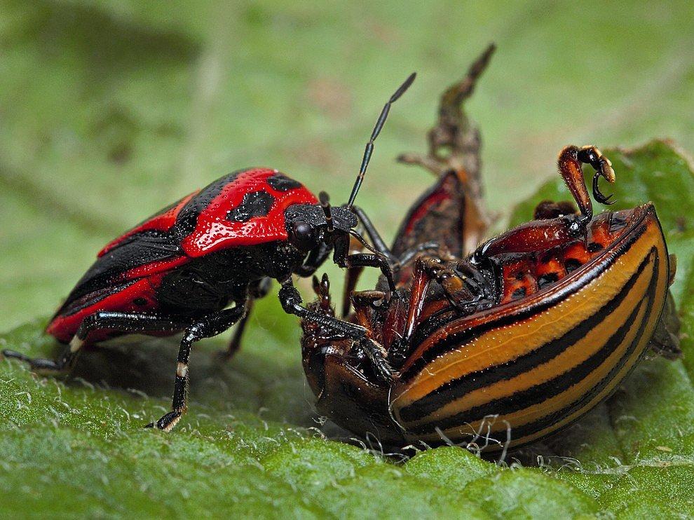 Борьба клопа и жука
