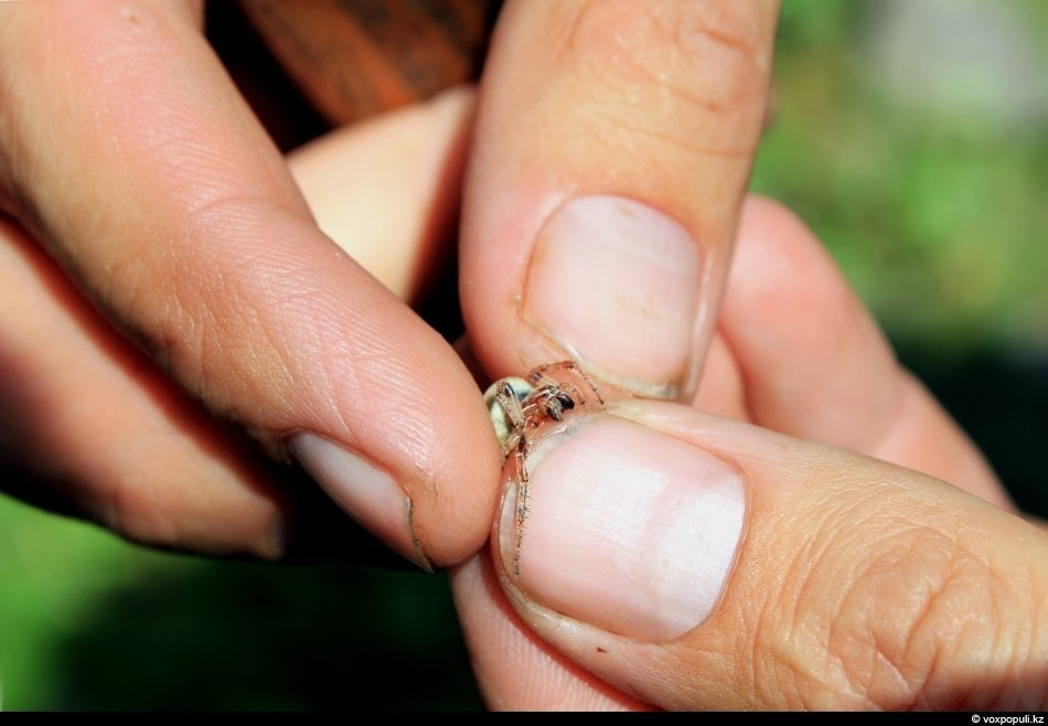 Обычный сосед каракурта — безобидный паук агелена
