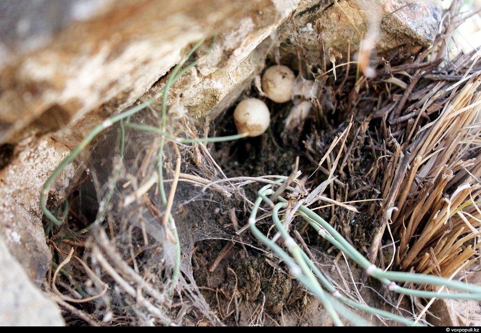 Прошлогоднее гнездо каракурта