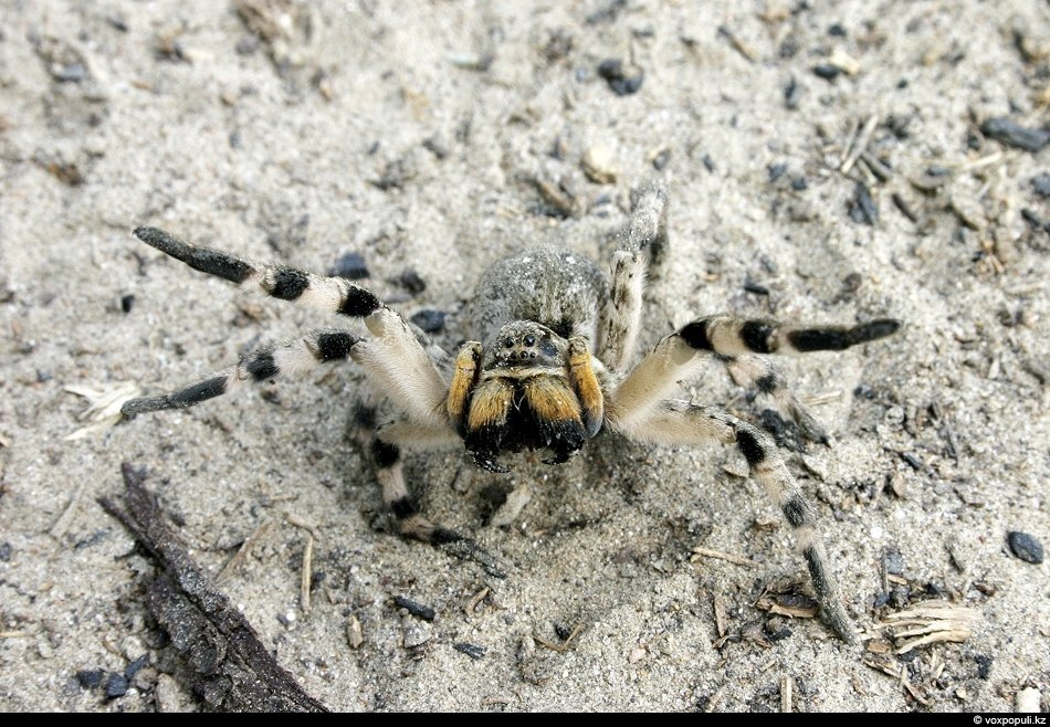 Угрожающая поза южно-русского тарантула