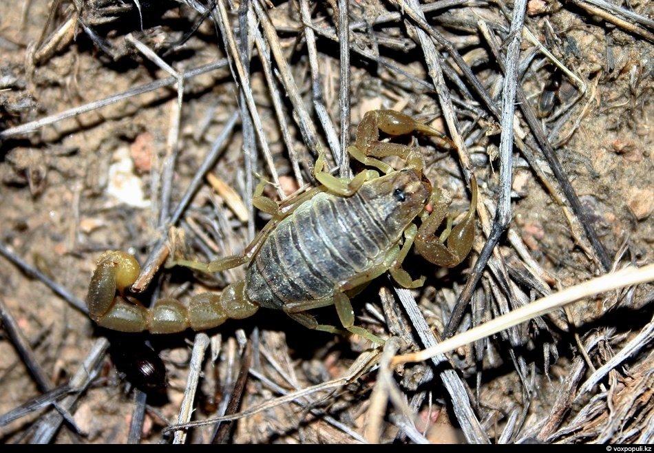 Желтый скорпион (самка)