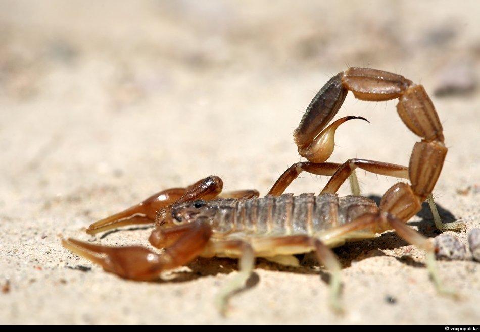 Кавказский скорпион