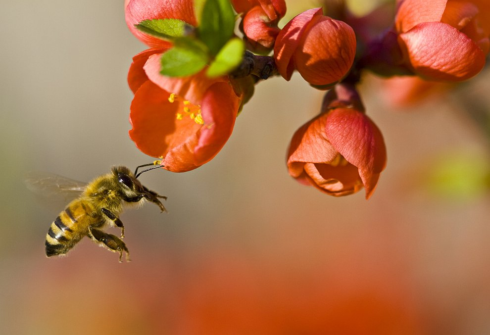 bee pollination Bee pollination and technology of around 300 different types of commercial crops, 84 percent are pollinated by insects, including bees (allsopp, de lange, veldtman).