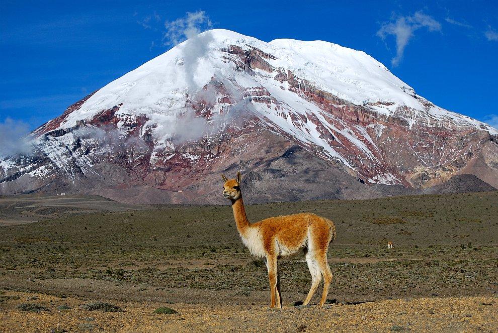 Викунья — род животных из семейства верблюдовых