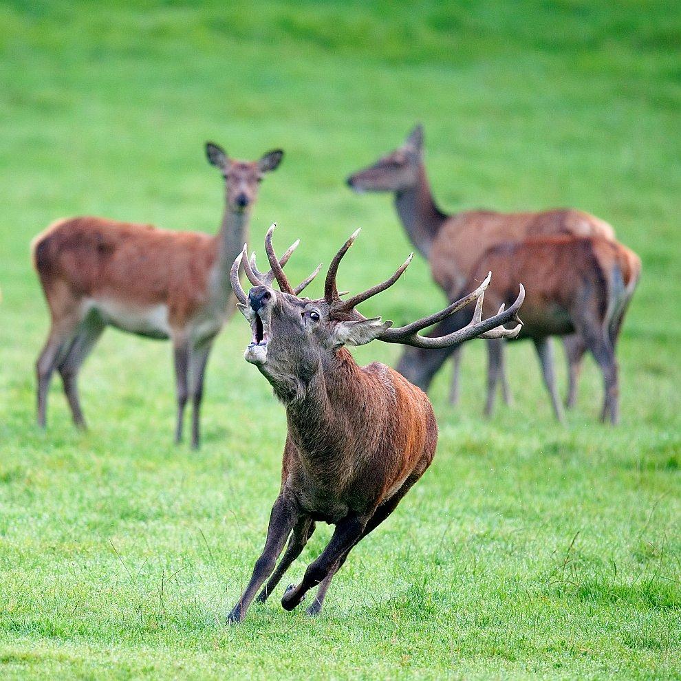 Благородные олени в лесу Фрер около Ан-сюр-Лес, Бельгия