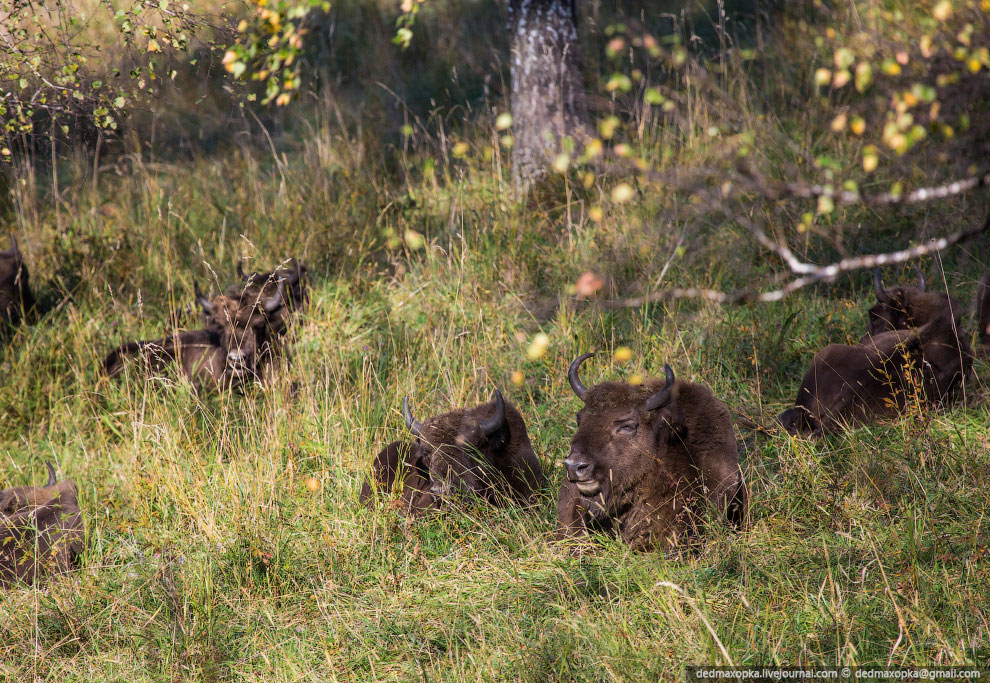 Зубры, они же европейские бизоны