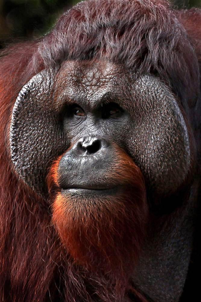 Задумчивый орангутанг